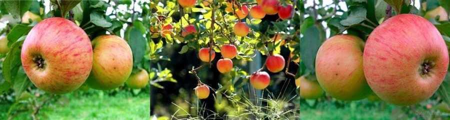 Медуница яблоня фото