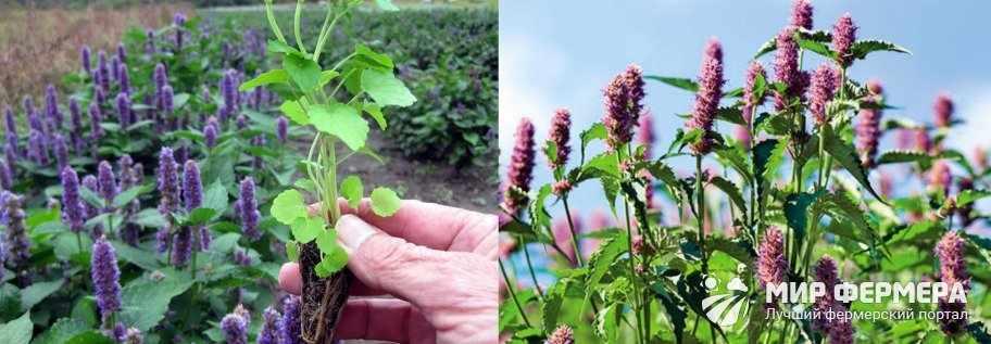 Выращивание лофанта анисового