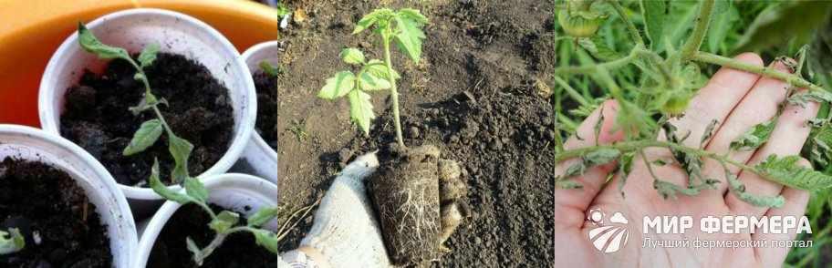 Скручиваются листья томатов после пересадки