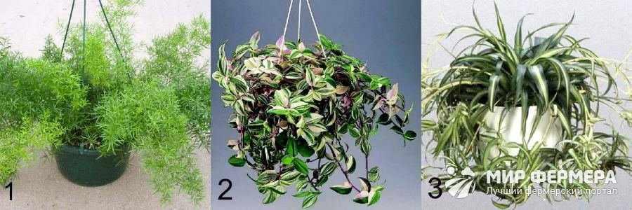 Декоративные вьющиеся растения для дома