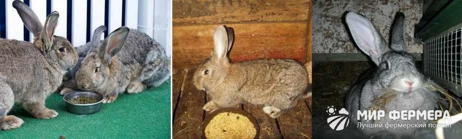 Кормление кроликов великанов