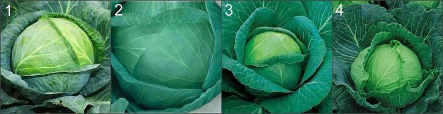 Поздняя белокочанная капуста
