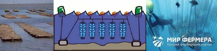 Технология выращивания мидий