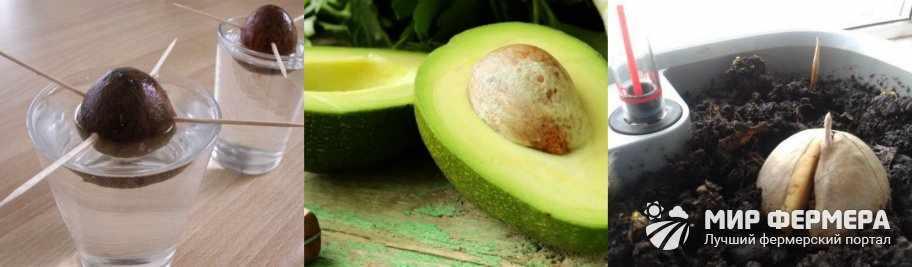 Как посадить косточку авокадо