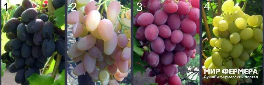 Лучшие сорта кинельского винограда