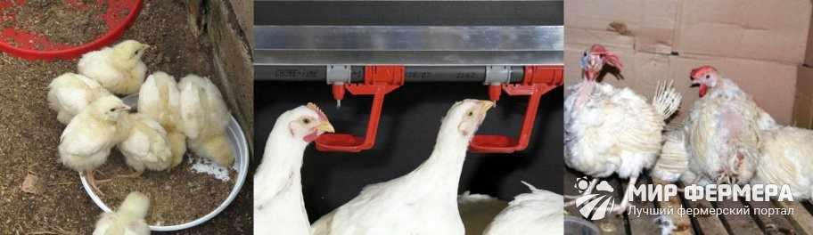 Чиктоник для цыплят показания
