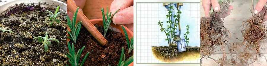 Как размножают розмарин