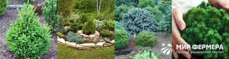 Хвойные деревья фото и названия