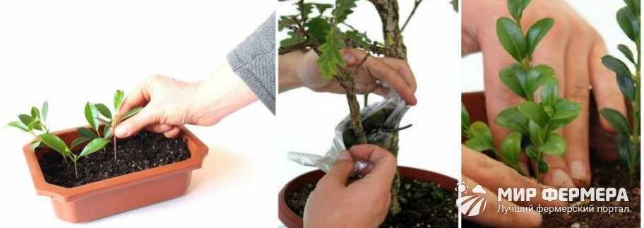 Как вырастить бонсай из черенков
