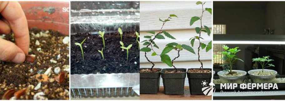 Как вырастить бонсай из семян