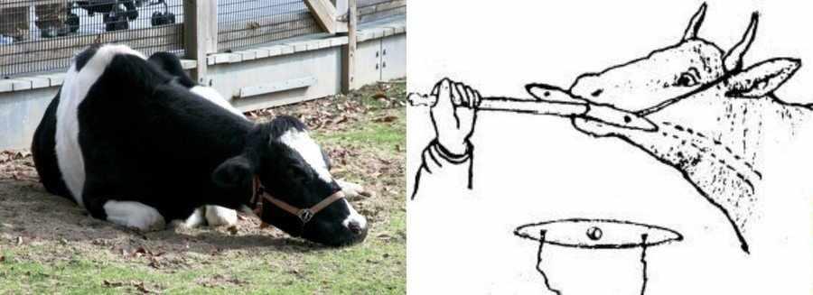 Закупорка пищевода у коров