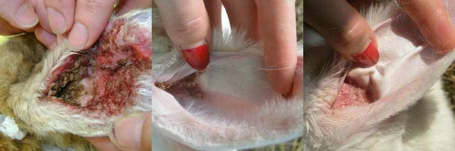 Ушная чесотка у кроликов