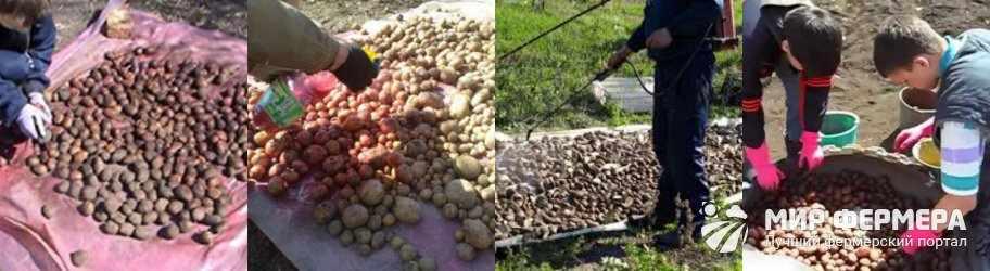 Обработка картофеля препаратом Престиж