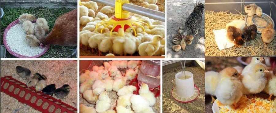 Кормление кур и цыплят