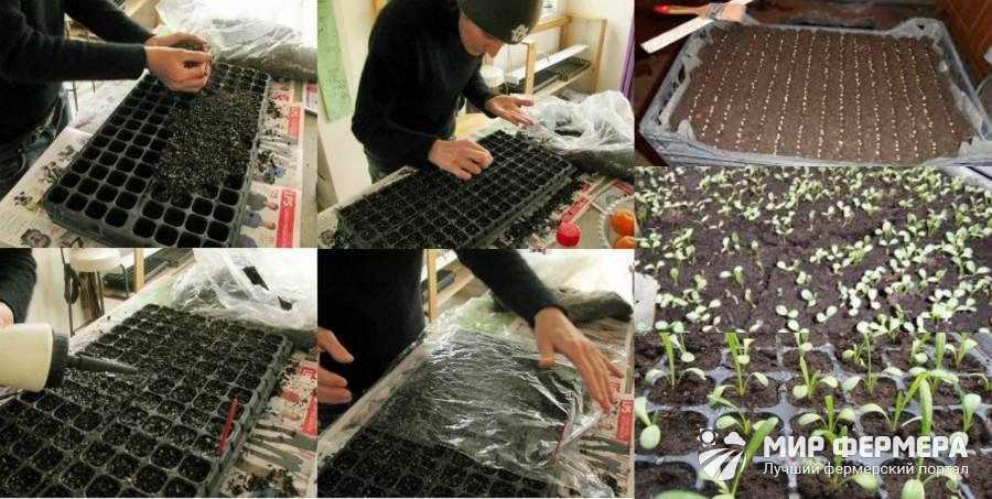 Выращивание газании из семян