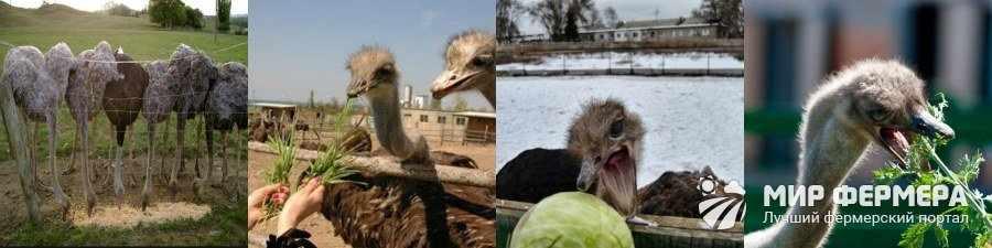 Что едят страусы