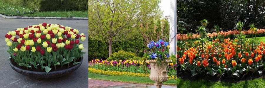 Клумба с тюльпанами