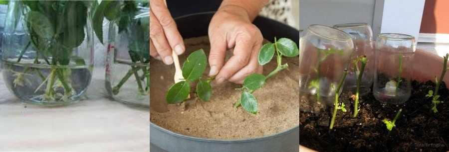 Как посадить черенки роз