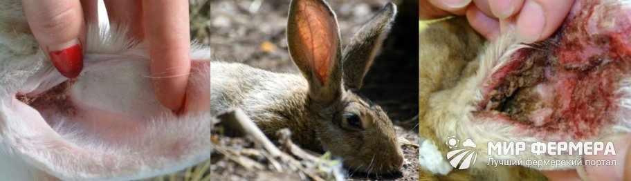 Симптомы ушного клеща у кроликов