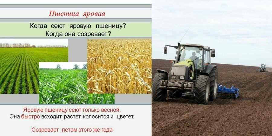 Выращивание яровой пшеницы