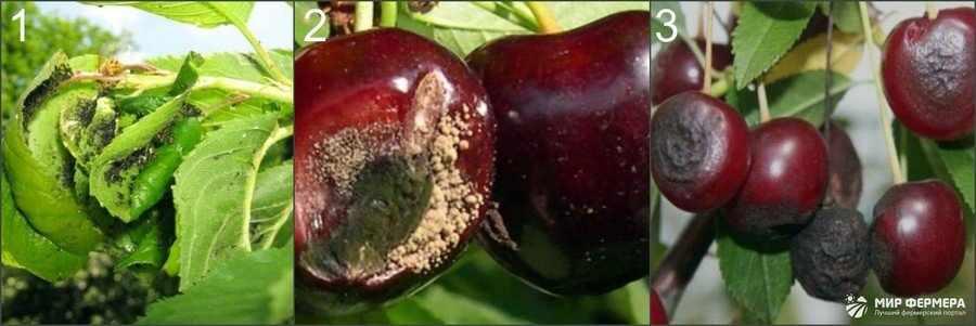 Вредители вишни фото