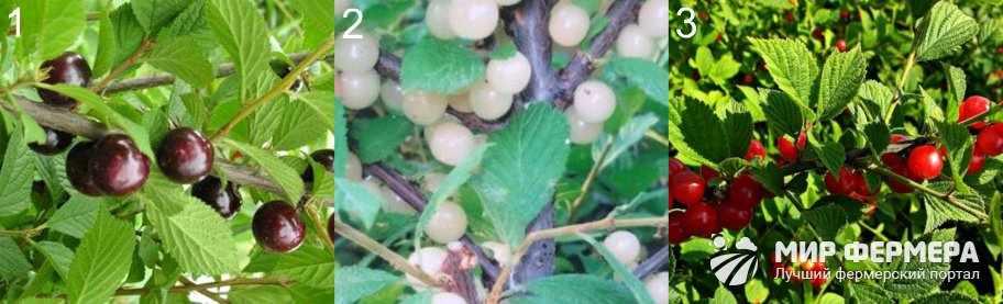 Лучшие сорта войлочной вишни