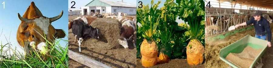 Сочный корм для коров