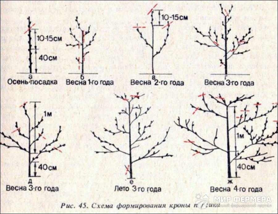 Схема обрезки молодого персика
