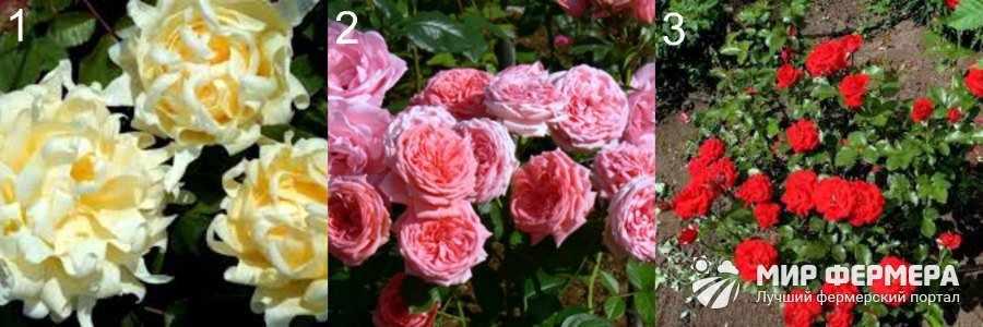 Розы флорибунда виды с фото