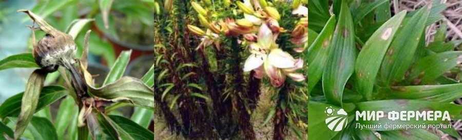 Склероциальная гниль лилий