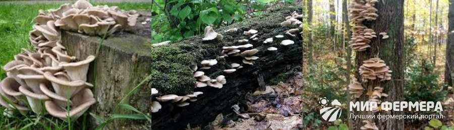 Где растут вешенки в природе