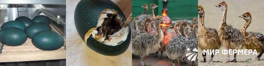 Выведение страусов эму