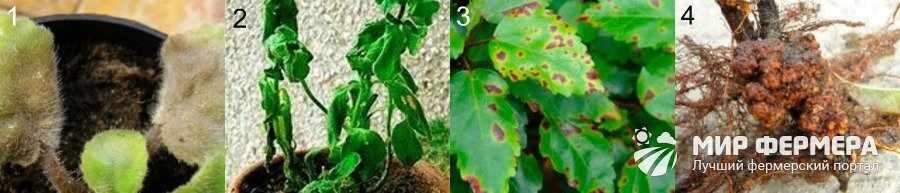 Бактериальные болезни комнатных растений