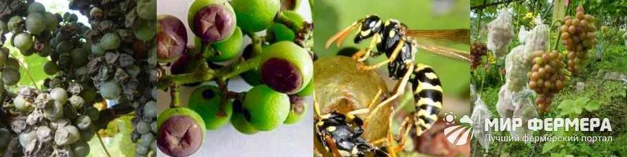 Болезни и вредители винограда