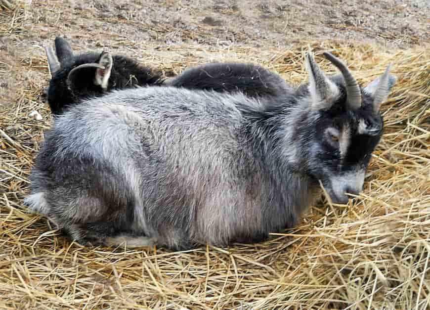 Порода коз Камерунская