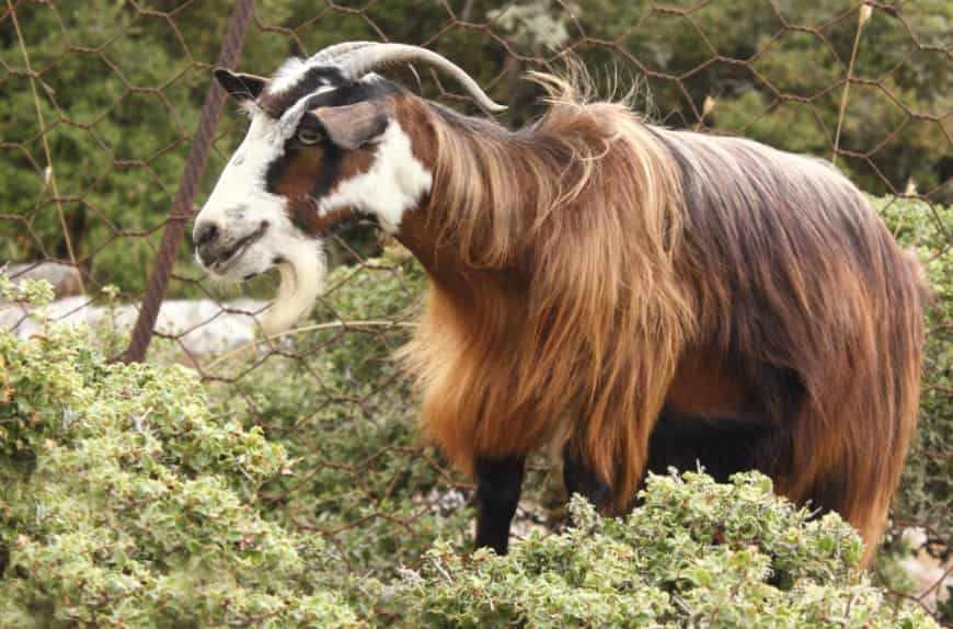 Греческая коза