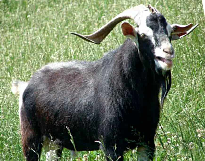 анатолийские козы