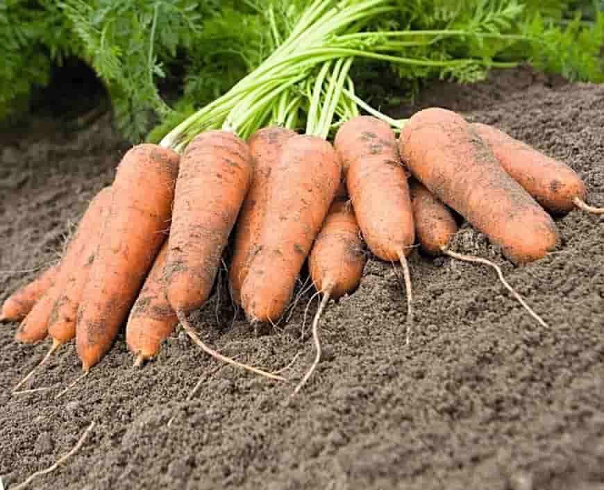 Сорт моркови Карини