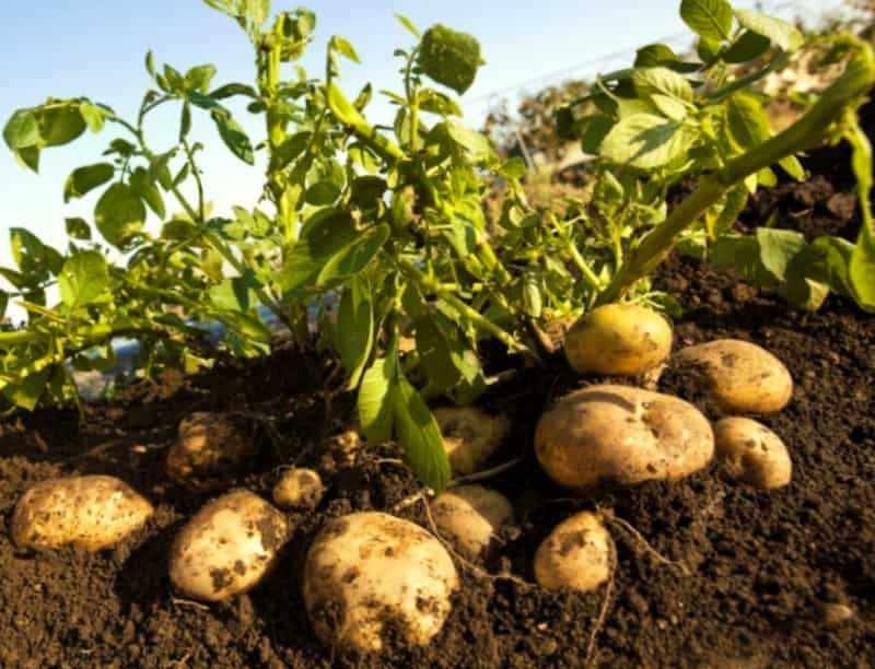 Урожайный сорт картошки