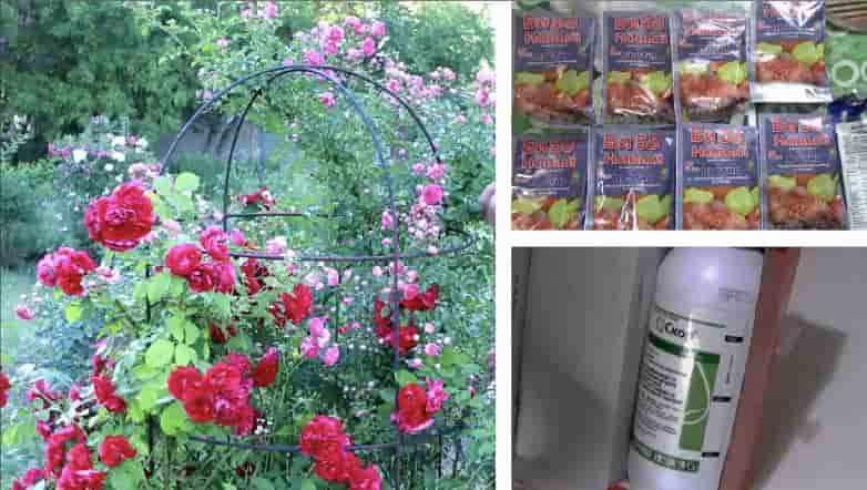 Обработка роз ранней весной от болезней и вредителей