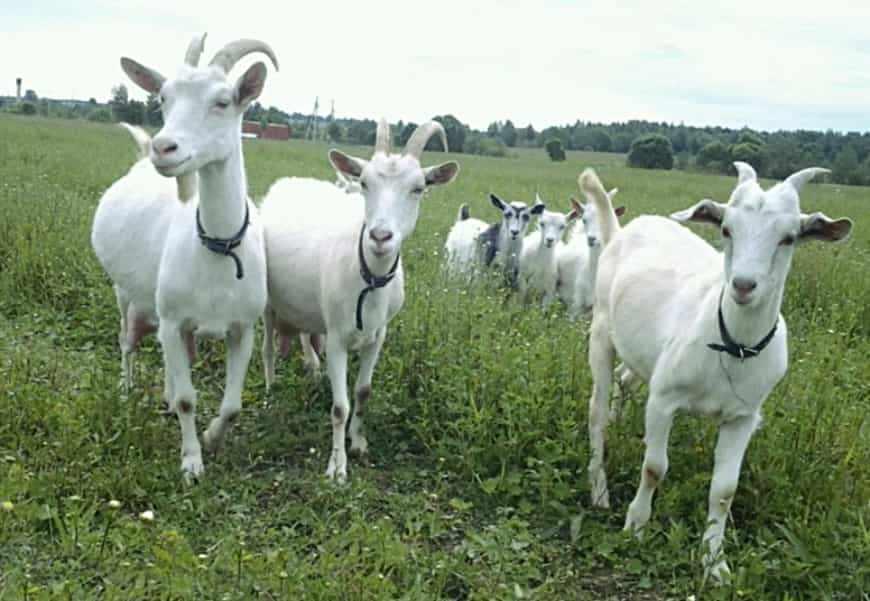 Русская бела коза