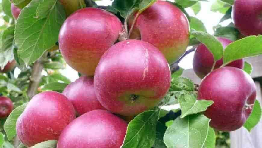 Звёздочка яблоня