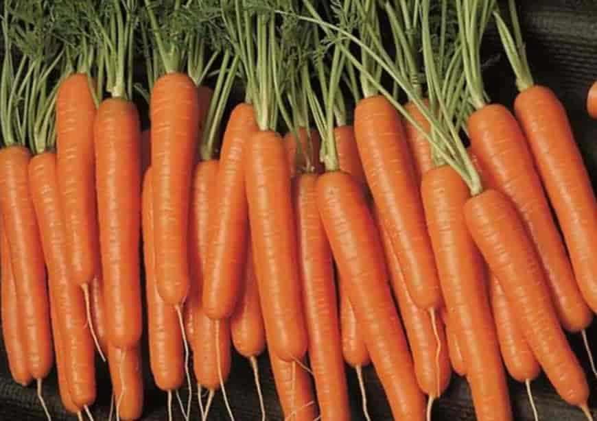 Сорт моркови Самсон
