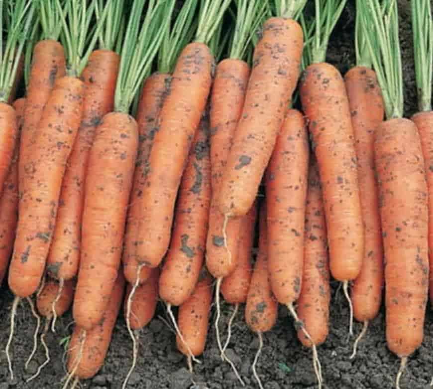 Сорт моркови Леандр