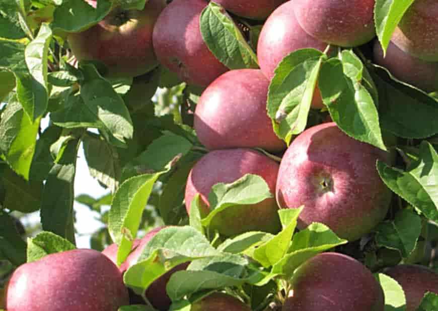Макинтош сорт яблони