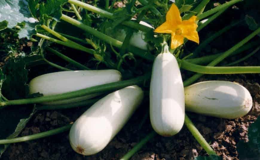 Сорта кабачков Белый