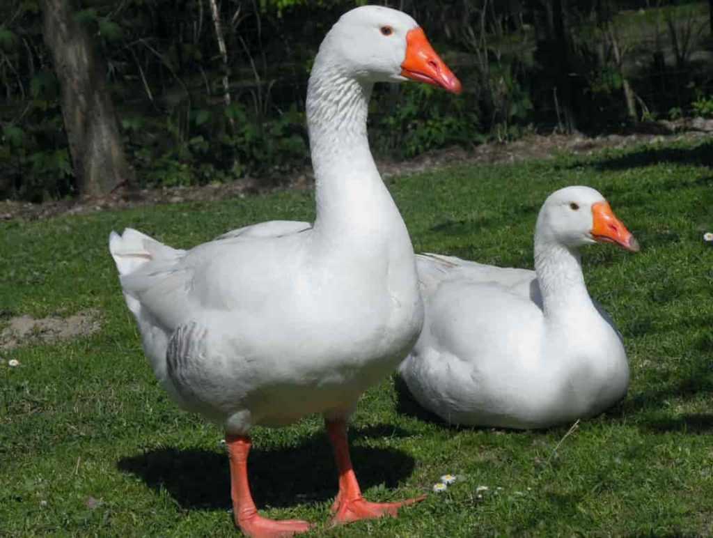 Губернаторская порода гусей