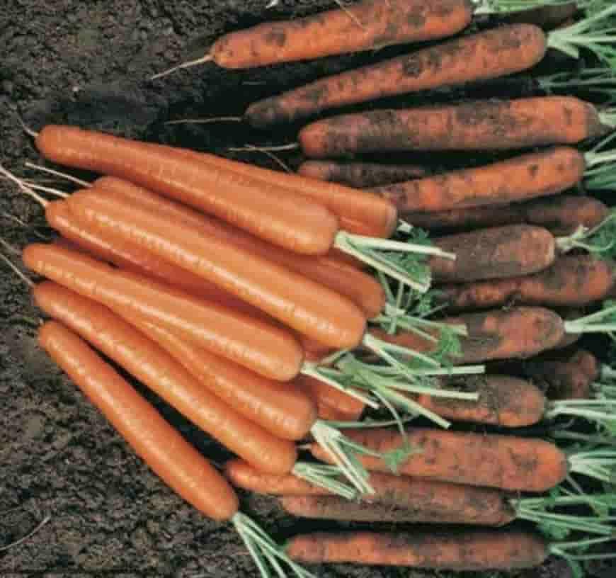 Сорт моркови Сиркана F1