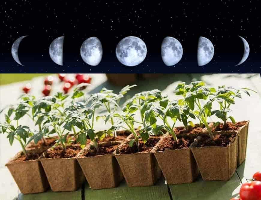 Влияние фаз луны на дату посадки помидор