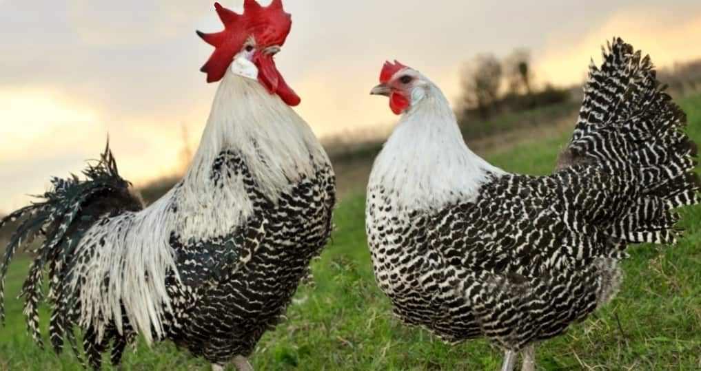 Брекель порода кур